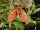 Bulbophyllum ovalifolium